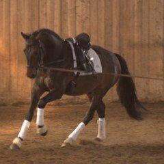 L'entraînement du cheval de dressage à la longe