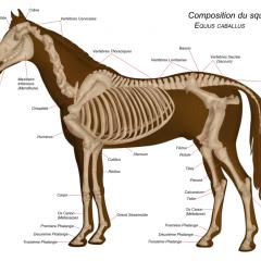 L'Ostéopathie équine